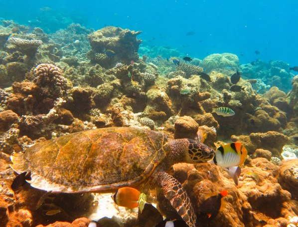 hk307-zheng-six-bar-wrasse-brown-butterflyfish-double-saddle-butterflyfish-and-orange-striped-triggerfish